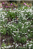 TQ3499 : Snowdrops and Hellebores, Myddelton House, Enfield, Middlesex by Christine Matthews