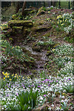TQ3499 : Snowdrops and Daffodils, Myddelton House, Enfield, Middlesex by Christine Matthews