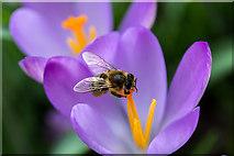 TQ3499 : Bee on Crocus, Myddelton House, Enfield, Middlesex by Christine Matthews