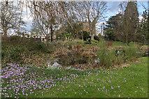 TQ3499 : Crocus, Myddelton House, Enfield, Middlesex by Christine Matthews