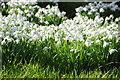 SO1566 : Snowdrops in Llanfihangel Rhydithon by Philip Halling