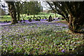 SD5292 : Crocus bed in Parkside Cemetery by Bill Boaden