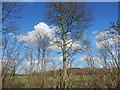 TL9443 : Trees and Langley Wood, Round Maple by Hamish Griffin
