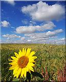 TA2272 : Sunflower Surprise by Scott Robinson