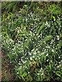 SX7959 : Snowdrops, Harper's Hill by Derek Harper