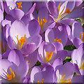 SE7872 : Purple patch of crocuses by Pauline E