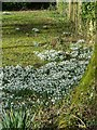 SP9107 : Snowdrops in St Leonard's church grounds by Rob Farrow