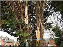 TM1543 : Damaged tree on Ancaster Road (close up) by Hamish Griffin