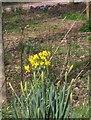 SX9265 : Daffodils, St Marychurch by Derek Harper