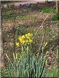 SX9265 : Daffodils, St Marychurch by Derek Harper