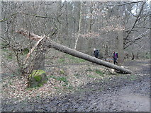 SK2479 : Structural Failure in Coppice Wood by Anthony Parkes