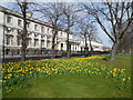 TQ3877 : Daffodils opposite Greenwich University by Paul Gillett