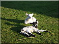 SK9700 : Newly born lambs at Manor Farm, Tixover by Marathon