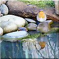 SK2169 : Reflection of robin by Peter Barr