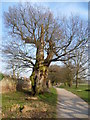 TQ1471 : Veteran tree in Bushy Park by Marathon