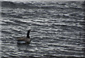 """SD7032 : A Canada goose """"hove to"""" on Parsonage Reservoir by Ian Greig"""