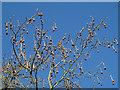 TQ3877 : Plane tree fruits by Stephen Craven