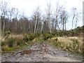 NY1375 : Muddy track through birch woodland by Oliver Dixon