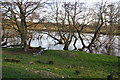 NY5539 : Trees growing in the River Eden by Bill Boaden