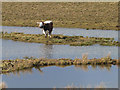 NY0566 : English Longhorn cow at Caerlaverock WWT Reserve by Oliver Dixon