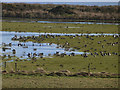 NY0666 : Barnacle Geese at Caerlaverock by Oliver Dixon