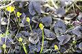 SK9205 : Ranunculus Brazen Hussy by Alice Batt