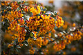 SK9205 : Berberis darwinii Flowers by Alice Batt