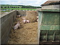 SE6277 : Pigs  in  straw by Martin Dawes