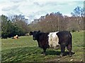 ST1699 : Cattle on Aberbargoed Grasslands by Robin Drayton
