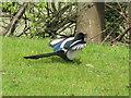 NT2470 : Displaying Magpie by M J Richardson