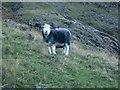 NY2507 : Sheep beside Rossett Gill by Graham Robson