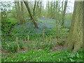 TQ7749 : Bluebells near Boughton Monchelsea Deer Park by Marathon