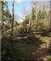 SS8477 : Fallen tree near Wig Fach by eswales
