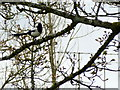 H4572 : Magpie in a tree, Omagh by Kenneth  Allen
