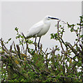 TA0723 : Little Egret (Egretta garzetta) Marsh Lane, New Holland by David Wright