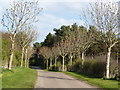 NT9342 : Avenue of trees on Road leading to Duddo from the West by David Clark