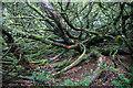 NT2838 : Inside a huge yew tree, Kailzie Gardens, Peebles by Mike Pennington