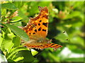 NT2470 : Comma butterfly in April by M J Richardson