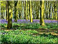 SU2694 : Bluebells and beeches, Badbury Clump, near Faringdon by Brian Robert Marshall