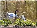 SD4314 : Martin Mere Wetlands Centre, Black-Necked Swan by David Dixon