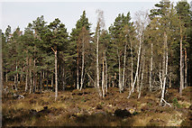 NH9817 : Abernethy Forest by Peter Trimming