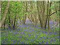 TM1931 : Bluebells in Copperas Wood by Roger Jones