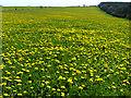 SU8417 : Dandelions on Bepton Down by Chris Gunns