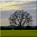 SK5629 : Ash tree in a field of rape by David Lally