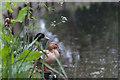 TQ3296 : Pair of Ducks, New River Loop, Enfield by Christine Matthews