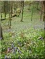 SE2666 : Bluebells in Fish Pond Wood by Derek Harper