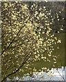 SE2666 : Pussy willow, Dean Lake by Derek Harper