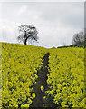 SE9943 : Rapeseed field near Etton by Paul Harrop