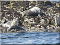 NU2236 : Grey Seals, Big Scarcar by N Chadwick