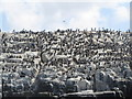 NU2337 : Breeding birds, Staple Island by N Chadwick